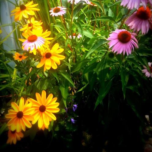 echinacea_ithaca_edited.jpg