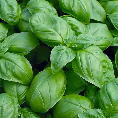 Sweet Genovese Basil (Ocimum basilicum), 110 Seeds, Organic