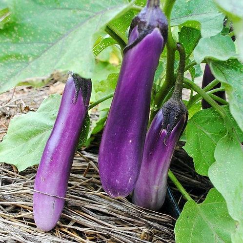 Ping Tung Long Eggplant (Solanum melongena), Organic