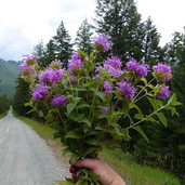 This week's roadside #sunday_bouquet, with huckleberry-stained fingers, on the way back down out of the foothills.jpg