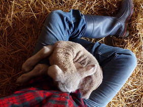 ...and then there's this. _Sitting for so long with a warm, fuzzy, sleeping newborn lamb in your lap that your feet fall asleep, too.jpg