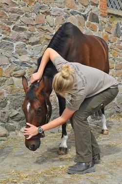 Kiropraktik hest 30