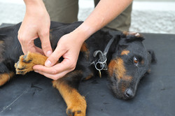 Kiropraktik hund 28
