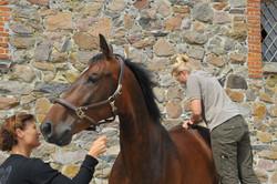 Kiropraktik hest 11