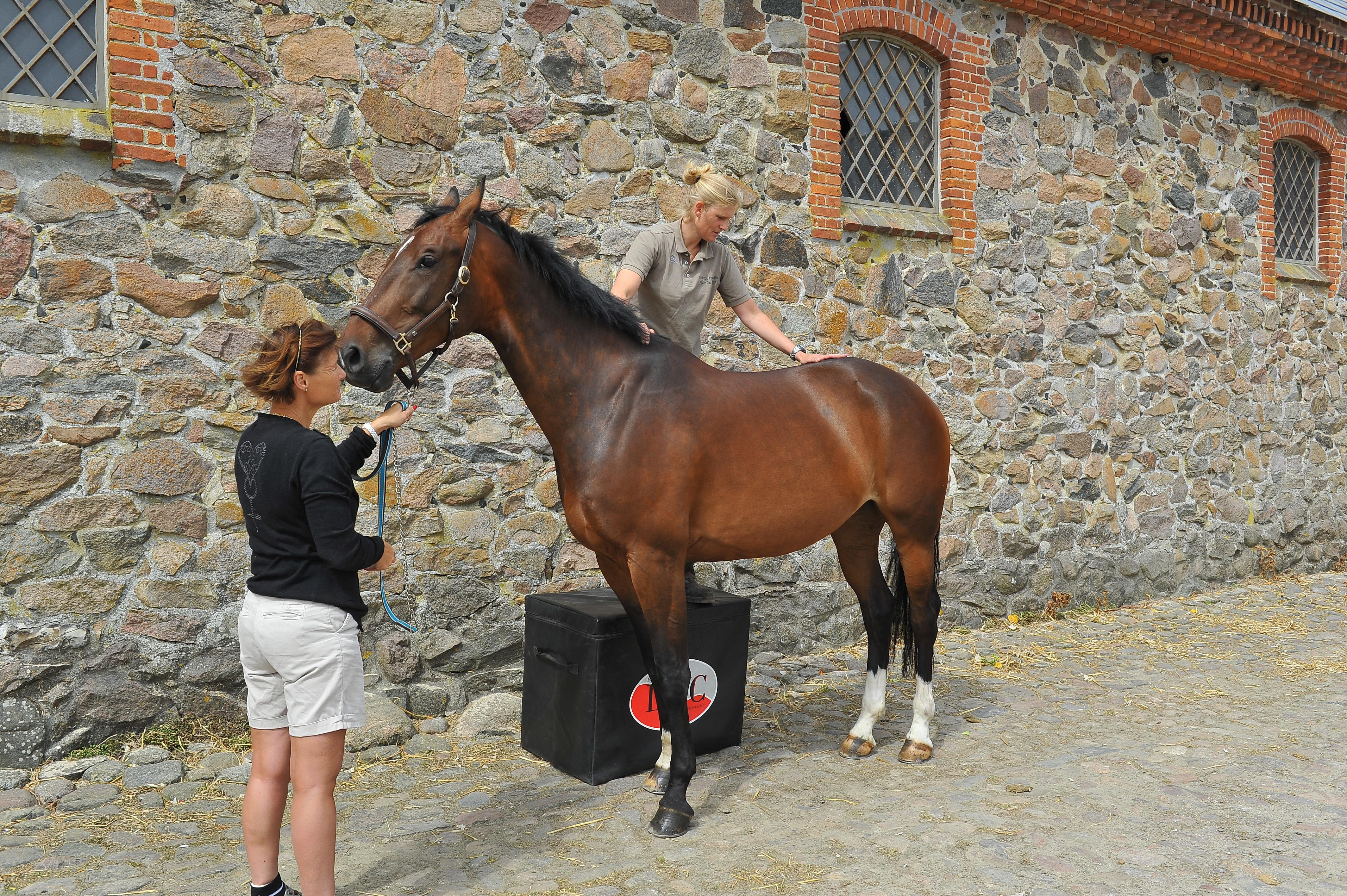 Kiropraktik hest 15