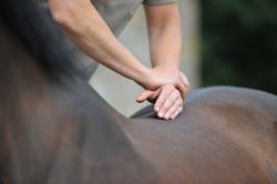 Kiropraktik hest 18
