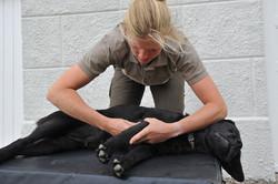 Kiropraktik hund 20_150dpi