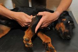 Kiropraktik hund 27