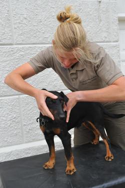 Kiropraktik hund 17