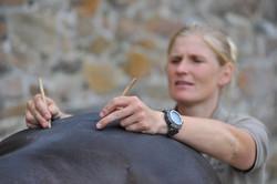 Kiropraktik hest 46