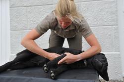 Kiropraktik hund 20