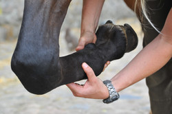 Kiropraktik hest 39