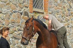 Kiropraktik hest 16