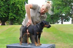 Kiropraktik hund 12