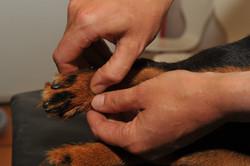 Kiropraktik hund 29