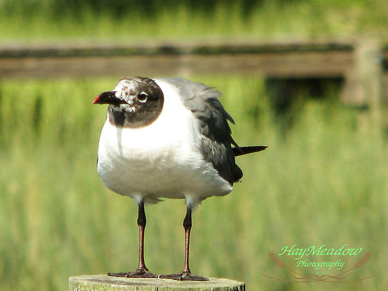 Seeking Seagull