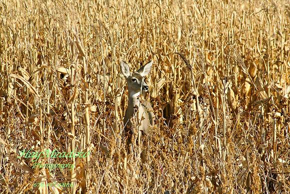 Peak a Deer