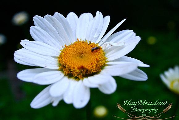Shining Daisy
