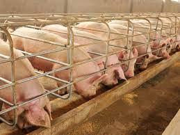 sonhar com porcos