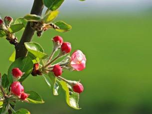 La rose musquée : renforcez votre système immunitaire & régénérez votre peau !