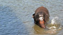 Jeune éléphant d'Asie - Sri Lanka.JPG