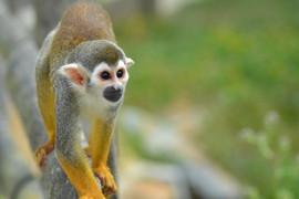 Petit singe d'Amazonie.JPG