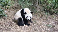 Un vrai Panda chinois.jpg
