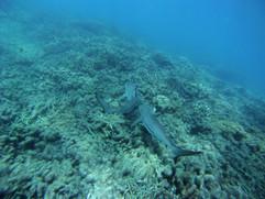 Requins_à_pointe_noire_-_Océan_Indien.JP