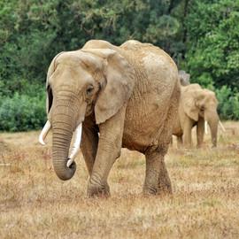 Éléphant d'Afrique.jpeg