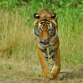 Tigre d'Asie du sud est.jpeg