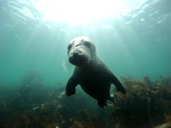 Jeune phoque des iles Scilly.JPG