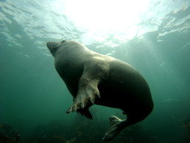 Phoque des Scilly - Angleterre.JPG