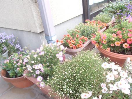 春のお花から夏のお花に衣替え中です。今日も最高気温28度、毎日の水やりに気を遣いますね。