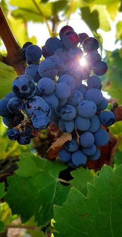 Grappe raisins Massiac