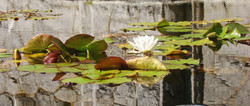 Pond Lilies at RR