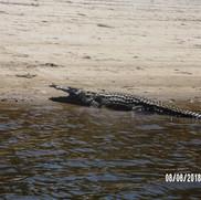 krokodyle nilowe