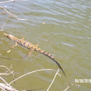 dziecko krokodyl (ok. 2 lat)