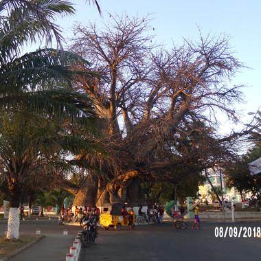 baobab  700-letni  na wybrzezuu