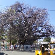 baobab dniem słuzy na miejsce spotkań