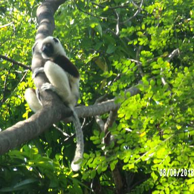 lemury w parku