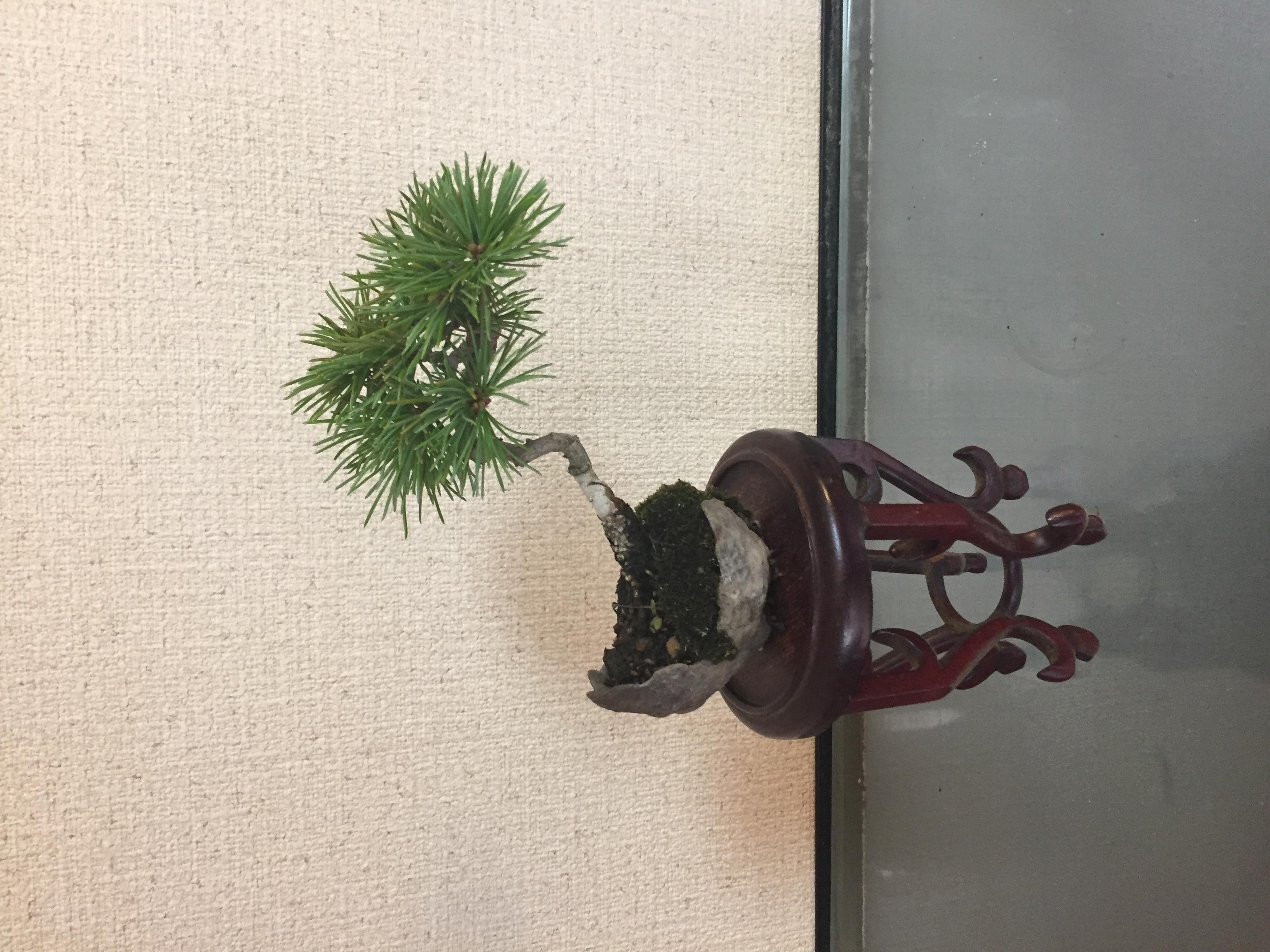 成彦 Shigehiko 盆栽 Bonsai / ゴヨウマツ 鞍馬石付