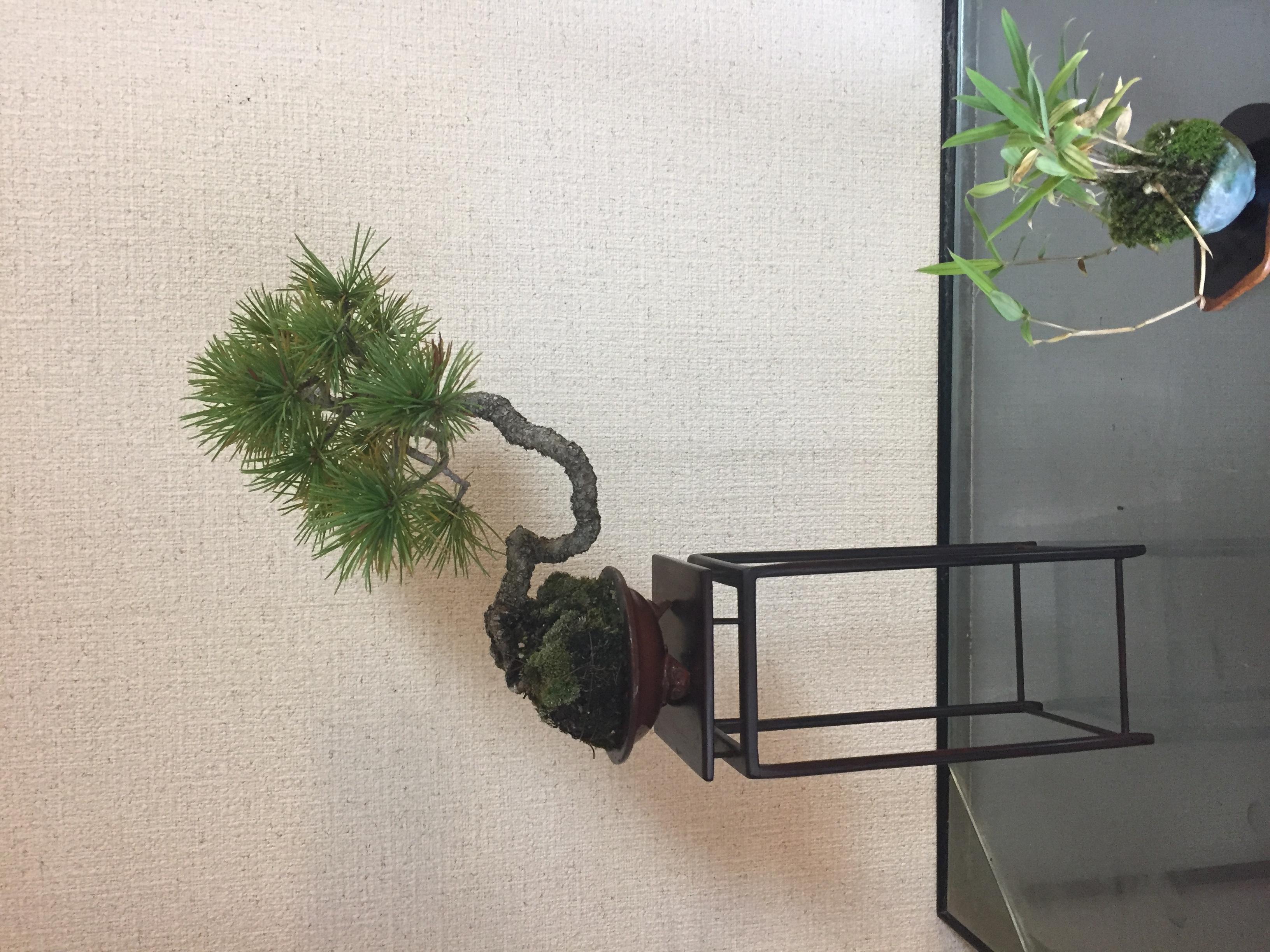 成彦 Shigehiko 盆栽 Bonsai /五葉松 ゴヨウマツ 文人