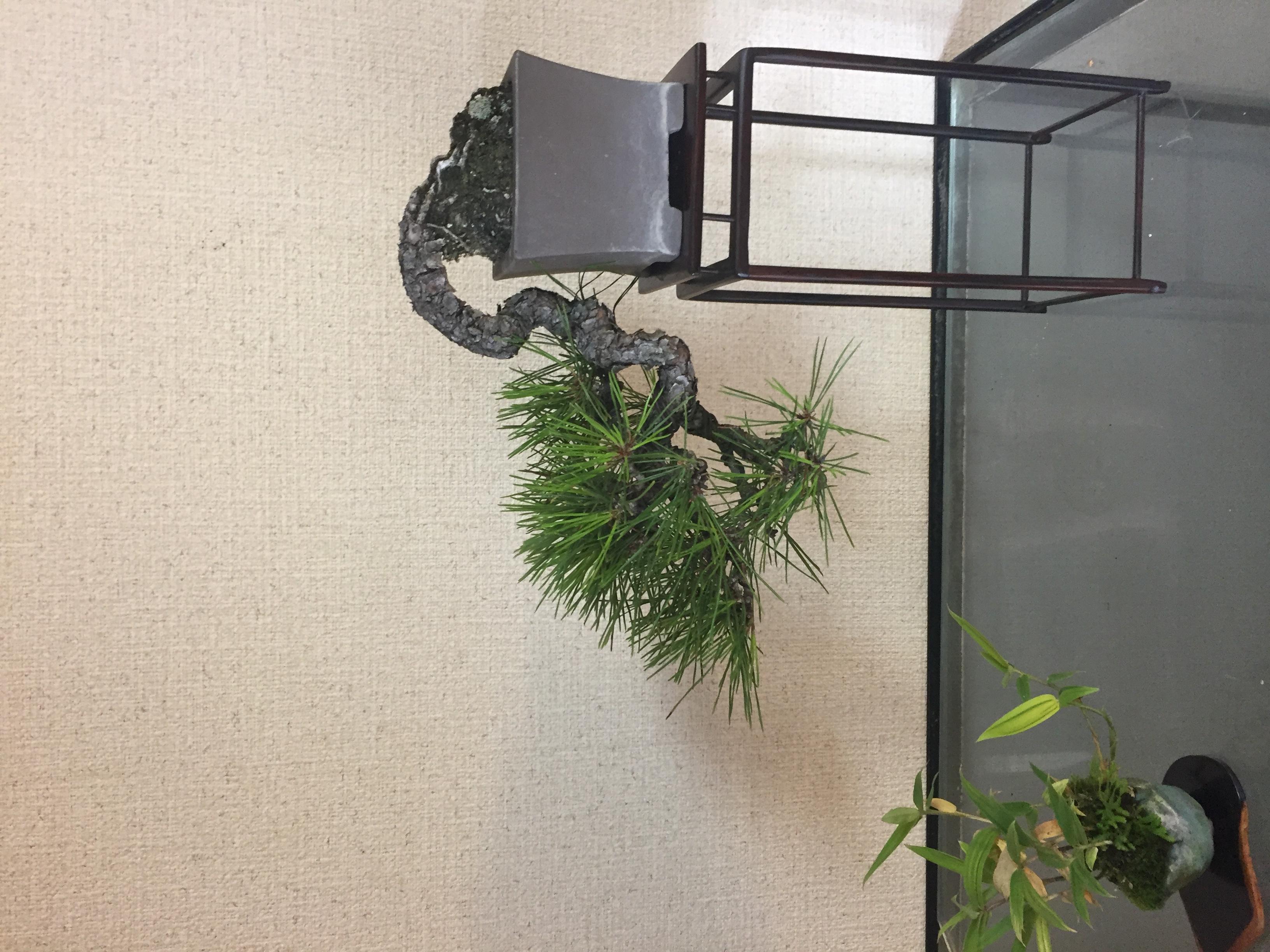 成彦 Shigehiko 盆栽 Bonsai / 赤松 アカマツ