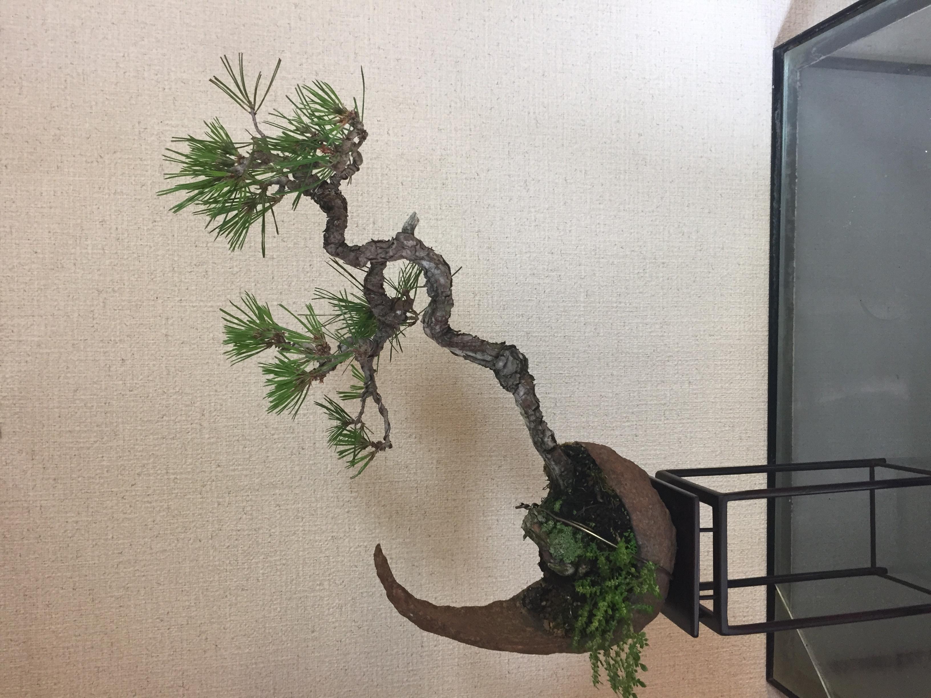 成彦 Shigehiko 盆栽 Bonsai / 赤松 アカマツ 鞍馬石