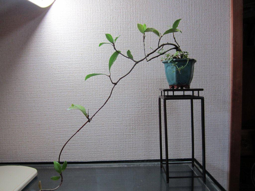Shigehiko Bonsai