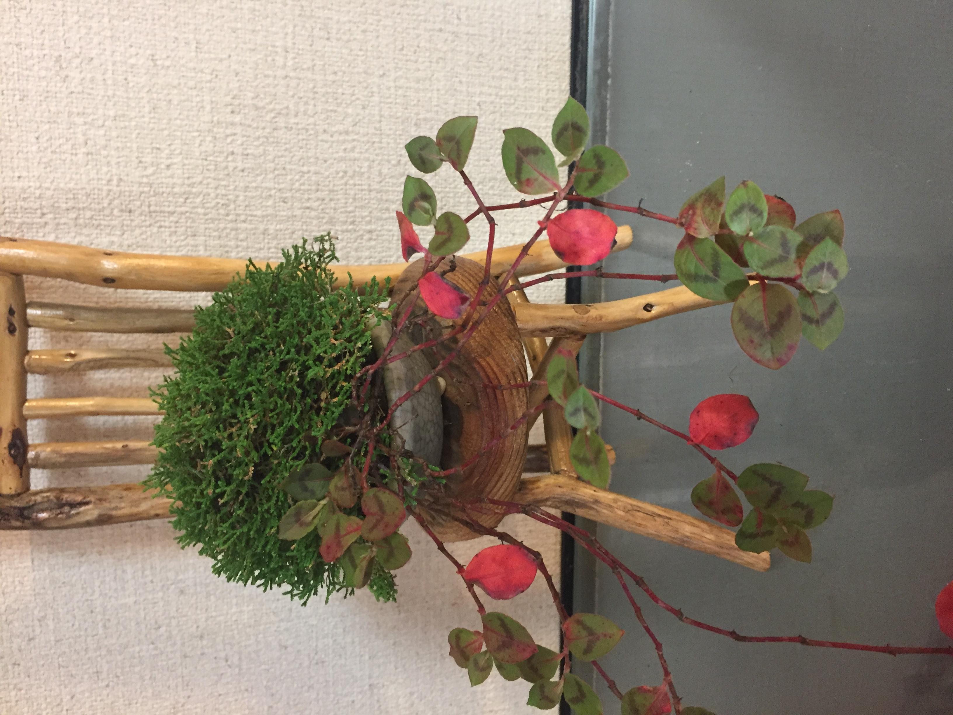 成彦 Shigehiko 盆栽 Bonsai / ハリガネカヅラ