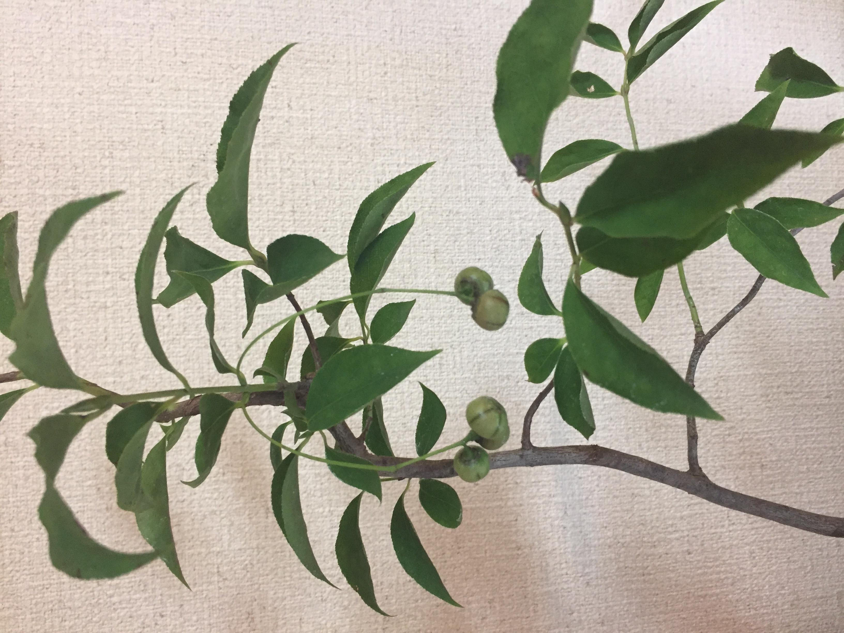 成彦 Shigehiko 盆栽 Bonsai / ツリバナマユミ