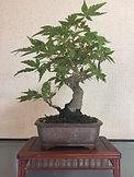成彦 Shigehiko 盆栽 Bonsai / もみじ
