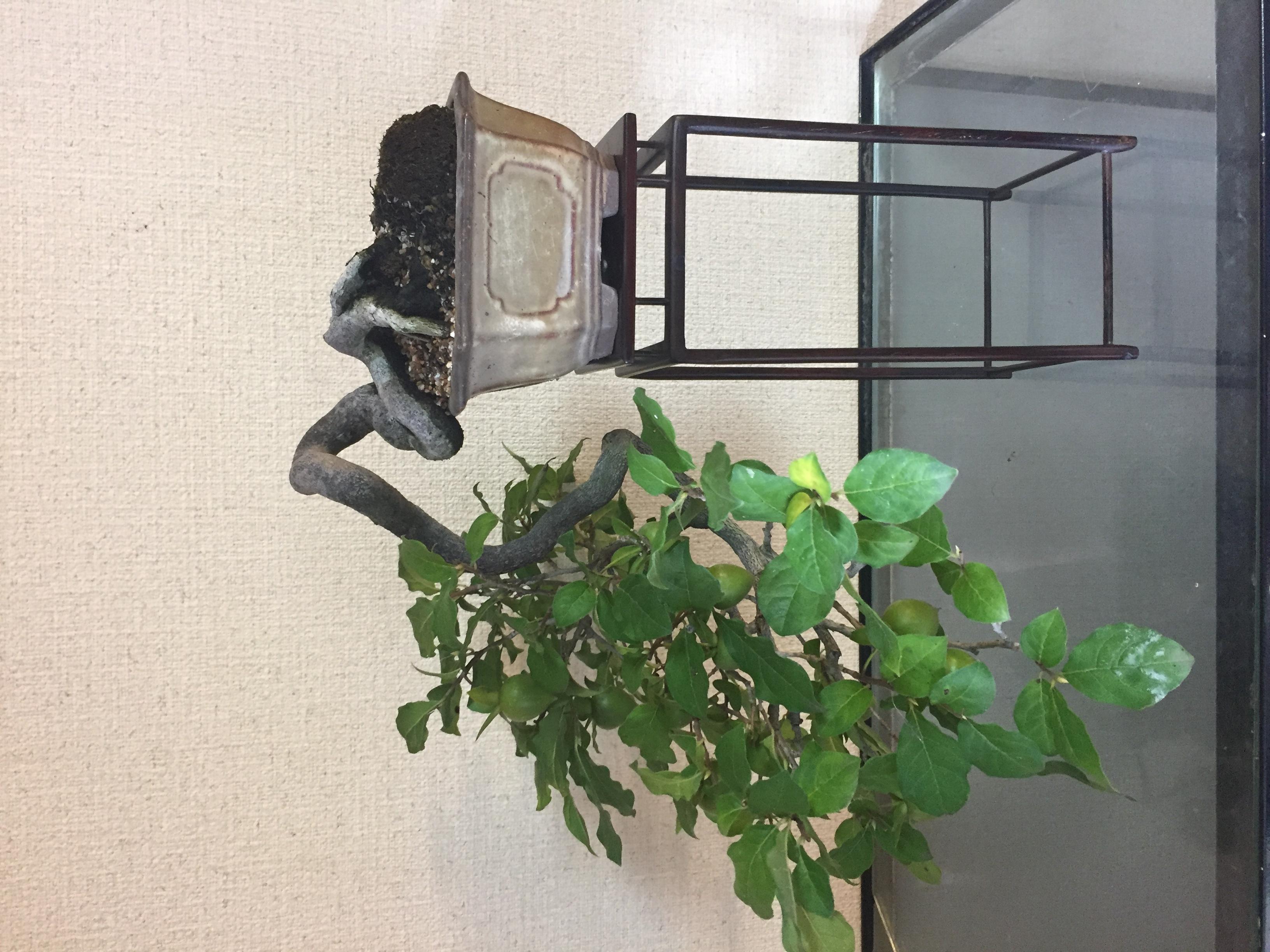 成彦 Shigehiko 盆栽 Bonsai / ロウヤカキ