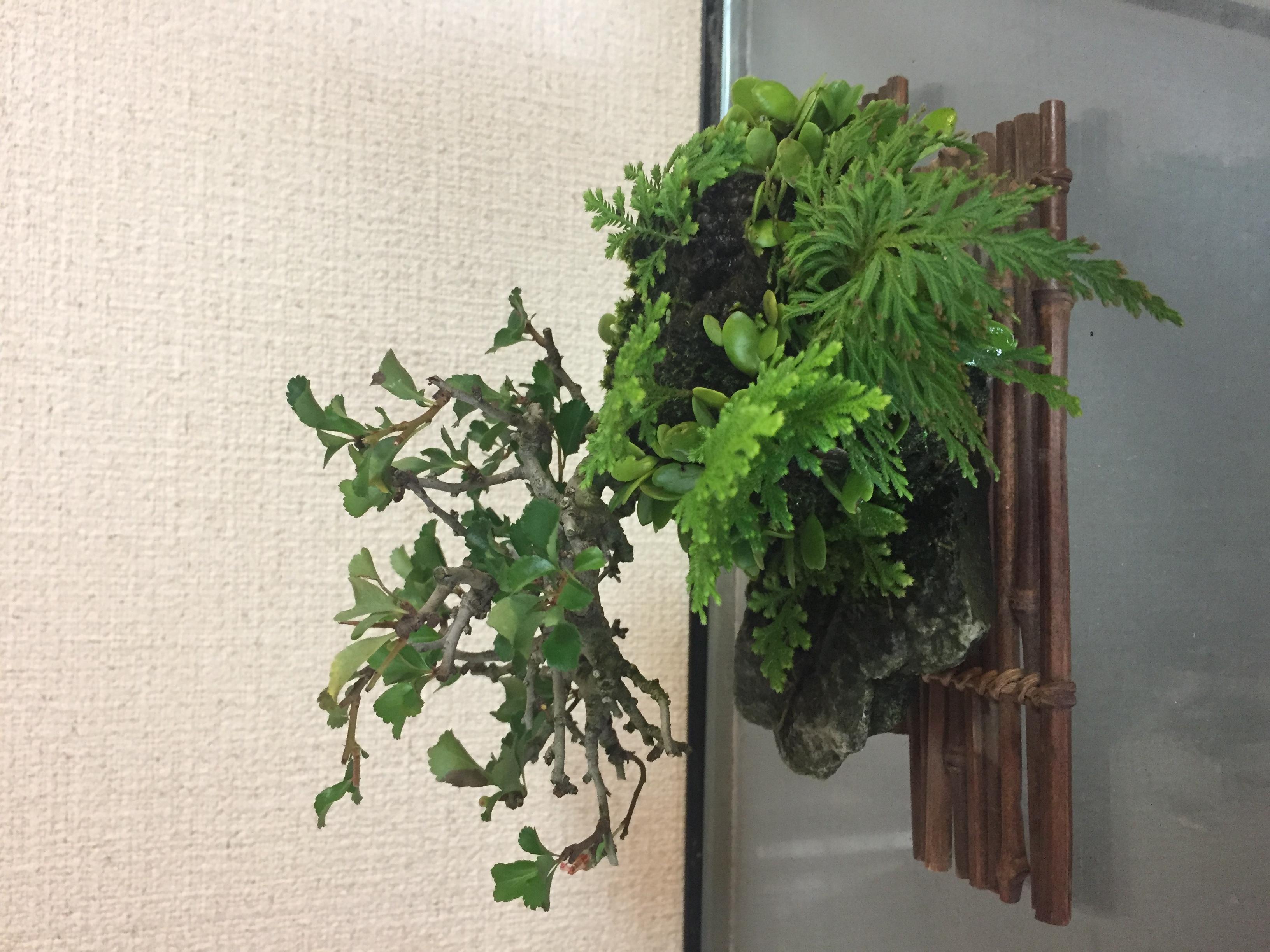 成彦 Shigehiko 盆栽 Bonsai / チョウジュバイ 天然石